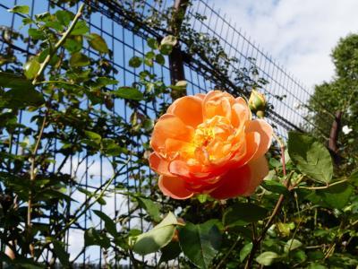 「玉村町北部公園」の秋バラ_2020_花は残っているが、見頃過ぎてます。(群馬県・玉村町)