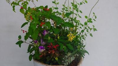 みどりのプラザへ「秋の寄せ植え展」を見に行きました その1。