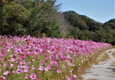 2020年10月 山口県・山陽小野田市 江汐公園にコスモスとバラを見に行きました。