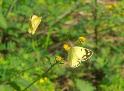 久し振りに所沢市南永井付近を散策しました①見られた蝶