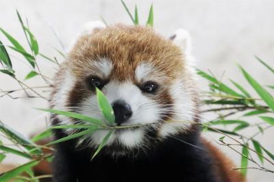 行楽の秋の埼玉こども動物自然公園(北園)レッサーパンダのハナビちゃん・みやびちゃん久しぶり&再開したアニマルショー&のびのびキリンのルンくん