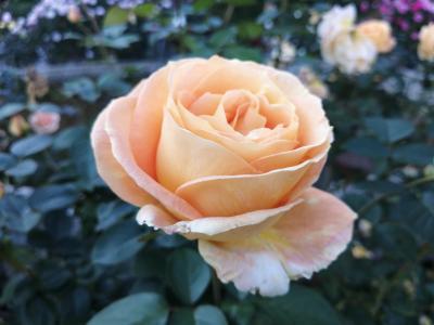 '20 千葉バラさんぽ10月 GartenCafeぶ楽り~里見公園のバラ&早朝の虹