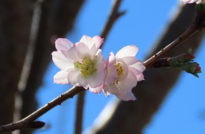 久し振りに見た冬桜