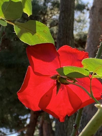☆*:.。. 薔薇の香りに包まれて .。.:*☆