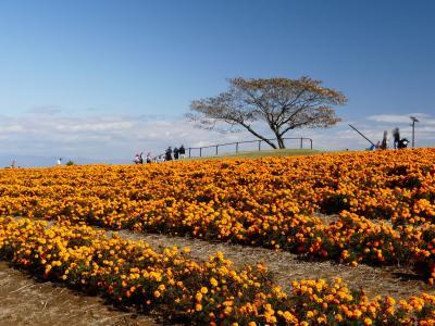 「マリーゴールドの丘公園」のマリーゴールド_2020_見頃です。(埼玉県・本庄市)