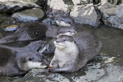 コツメカワウソ8頭同居見納めの智光山公園こども動物園~ミーアキャットの赤ちゃんやエミューのぱんちゃん元気な姿も見られた9月最後の午後
