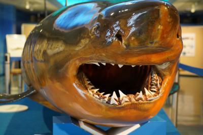 20201026-5 境港 海とくらしの史料館で、魚達の剥製見物
