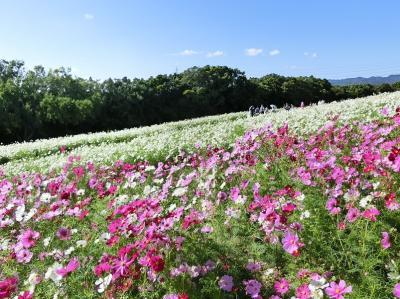 秋晴れの大阪万博記念公園 自然文化園・花の丘で「コスモス三昧の一日」を過ごす。(2020)