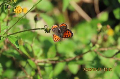 森のさんぽ道で見られた蝶(60)キタテハ、ウラナミシジミ、ベニシジミ、クロコノマチョウ、モンシロ他