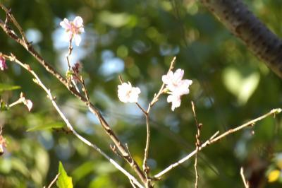 小菅ヶ谷北公園の散り際の桜-2020年秋