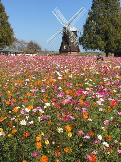 交通費ゼロ円の自転車旅「千葉県柏市、あけぼの山農業公園の『秋桜』が予想以上にキレイでした」