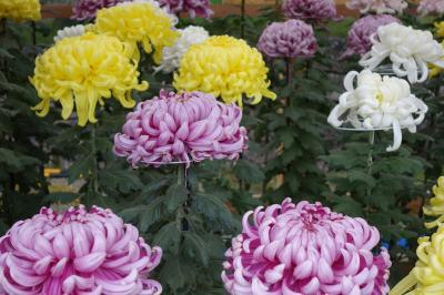 20201029-3 明石 明石公園まで散歩に行ったら、菊の展覧会でした
