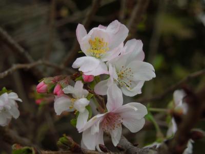 清楚に咲いていた冬桜