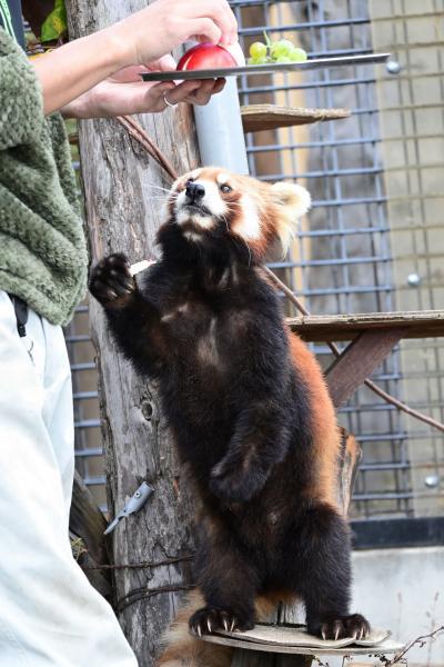 レッサーパンダはかわゆい !!! 旭山動物園 1