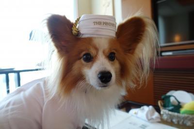 ペニンシュラ東京へ、パピヨンみっくの犬旅_ドッグステイプログラム