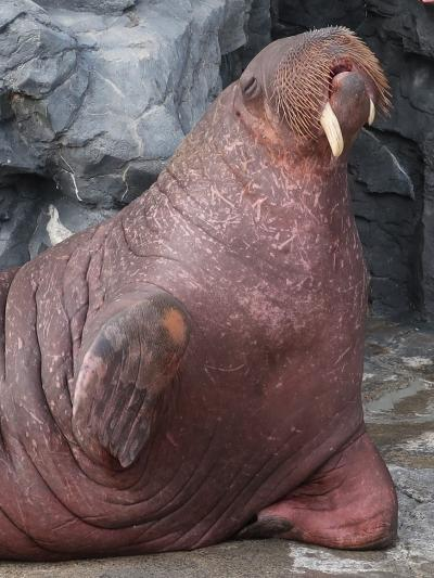 鴨川SeaWorld-14 セイウチ フィーデングタイム(給餌)☆流氷域の王者・牙目立つ-従順に