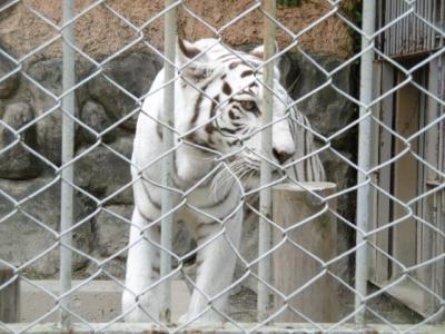 """""""再挑戦"""" ホワイト・タイガーに会いたくて ー東武動物公園ー"""