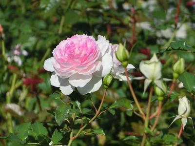 秋晴れの大阪万博記念公園 自然文化園・平和のバラ園で「秋のバラ」を楽しむ。(2020)