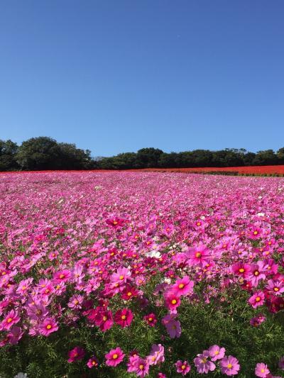 家族でGoTo淡路島 後編~あわじ花さじきのコスモス畑で深呼吸