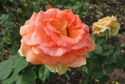 2020秋、鶴舞公園の秋薔薇(2/6):10月18日(2):アンドレ・グランディエ、芳純、ブラスバンド、ブルームーン、ルイの涙