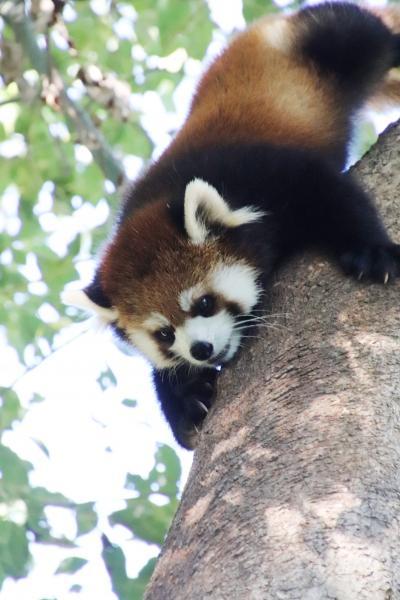 秋の行楽日和の埼玉こども動物自然公園(前編)緑ではしゃぐレッサーパンダの双子~グンディに別のカップルの赤ちゃん&オリジナルカレンダーゲット