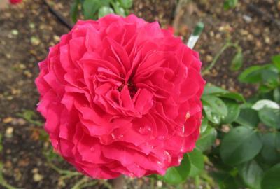2020秋、鶴舞公園の秋薔薇(3/6):10月18日(3):クッパー・ケニギン、メルヘン・ツァウバー、ビバリー、ティアーモ