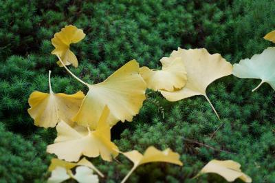 20201109-3 京都 折り返して、勝林院。銀杏が綺麗やね。