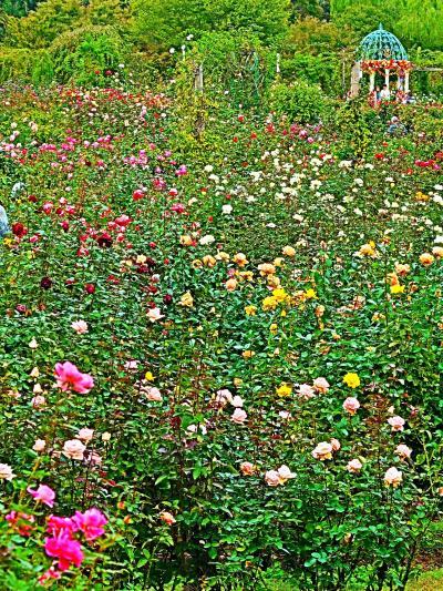 京成バラ園-1 Rose Garden 秋バラ 見ごろに ☆1,600品種10,000株を超えるバラ
