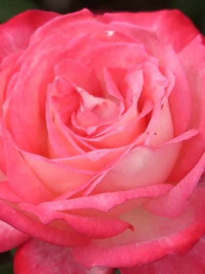 京成バラ園-2 Rose 秀花-イメージ膨らむ名札 ☆聖火・Home&Garden・OlympicFire