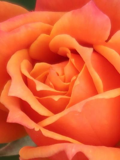 京成バラ園-5 Rose 庭園見どころ点景 ☆DisneyLandRose・リオ/Samba・ミュシャ作品