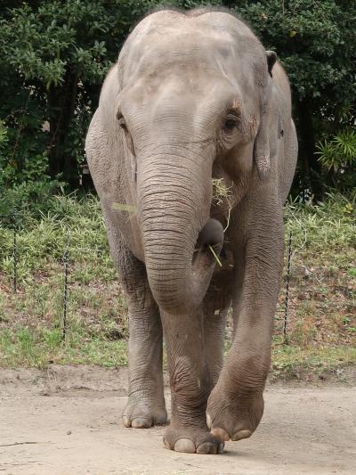 横浜-1 動物園a ZOORASIA アジアの熱帯林 ☆インドゾウ・マレーバク・スマトラトラ
