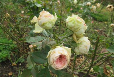 2020秋、鶴舞公園の秋薔薇(6/6):10月18日(6):ゴールデン・フラッシュ、ラバグルート、ピース、リオサンバ、パシュミナ