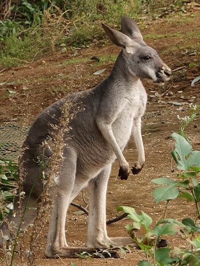 横浜-3 動物園c ZOORASIA オセアニアの草原 ☆アカカンガルー・キノボリカンガルーも
