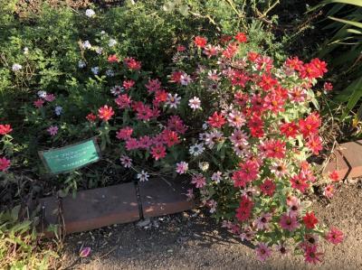 日比谷公園の秋バラを見に行く