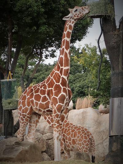 横浜-6 動物園f ZOORASIA アフリカのサバンナ ☆クロサイ・キリン・エランド・ライオン