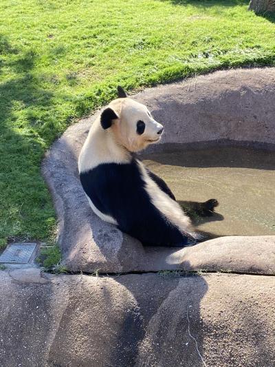 パンダに会いに和歌山へ(*^▽^*)おっさん過ぎるパンダ!絶対中にだれか入ってる(^^;)