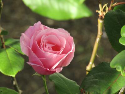 舞岡小の秋バラ