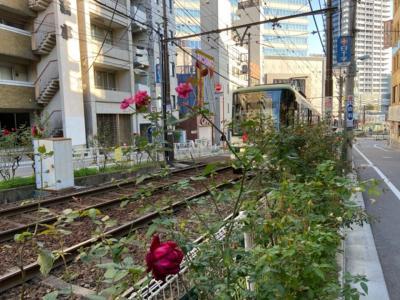 東京・都電沿いのバラロードと開場前の酉の市2020
