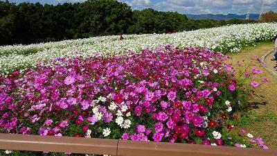 万博公園へコスモスと十月桜を見に出掛けました その2。