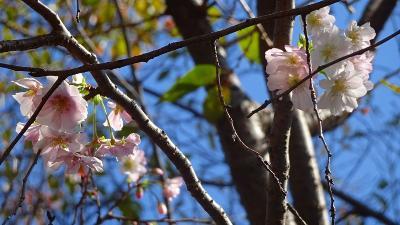 万博公園へコスモスと十月桜を見に出掛けました その5。
