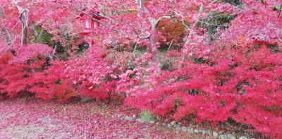 こんなに真っ赤な紅葉は、初めてかも。 2020年11月 京都