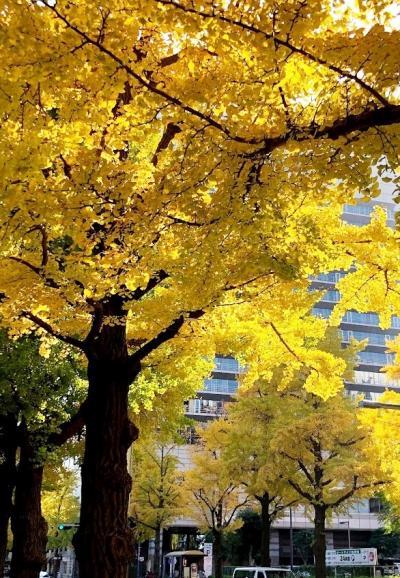晩秋の横浜 イチョウ並木の黄葉