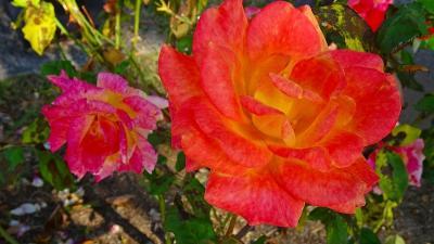 久し振りの荒牧バラ公園でバラの鑑賞 上巻。