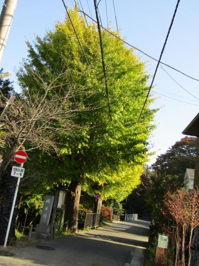 明月院通りの銀杏並木の色付き具合-2020年秋