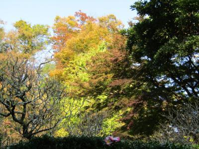 長寿寺の銀杏の木の色付き具合-2020年秋