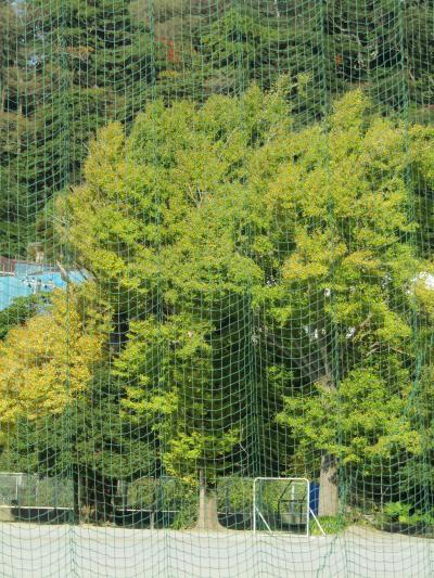 横浜国大付属鎌倉小中の銀杏の木の色付き具合-2020年秋