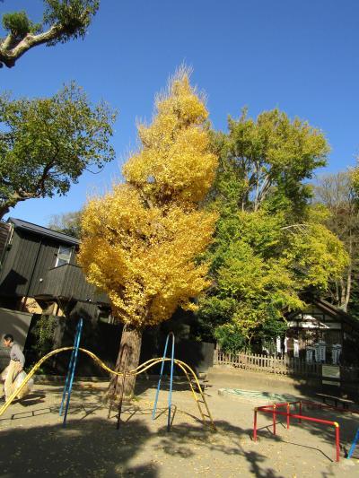 白旗神社の銀杏の木々の色付き具合-2020年秋