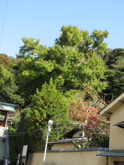 荏柄天神社の銀杏の木の色付き具合-2020年秋