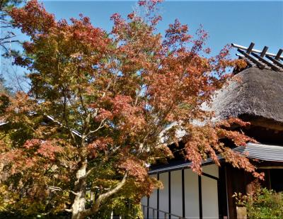 2020年11月 山口県・宇部市 ときわ公園でバラやツワブキ、晩秋のコスモスを見ました。