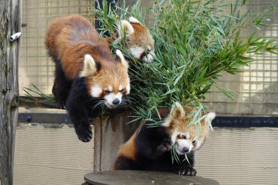 旭山動物園 将来の血統多様化の期待の星!!完全中国血統の双子のおチビちゃんに会いに